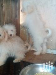 Poodles For Sale | Dogs & Puppies for sale in Greater Accra, Ga East Municipal