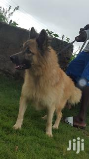 German Shepherd | Dogs & Puppies for sale in Central Region, Awutu-Senya