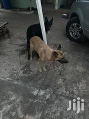 German Shepherd Male for Crossing / Stud Services   Dogs & Puppies for sale in Greater Accra, Achimota
