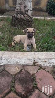 Mixed Breed Boerboel Puppies for Sale | Dogs & Puppies for sale in Ashanti, Kumasi Metropolitan