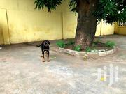 Doberman Puppy For Sale | Dogs & Puppies for sale in Greater Accra, Dansoman