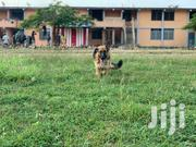 Pure Breed 7months Female German Sherpherd | Dogs & Puppies for sale in Greater Accra, Tema Metropolitan