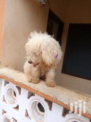 Male Poodles | Dogs & Puppies for sale in Greater Accra, Adenta Municipal