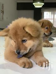 Chow Chow Puppies | Dogs & Puppies for sale in Greater Accra, East Legon