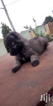 Caucasian Shepherd | Dogs & Puppies for sale in Greater Accra, Mataheko