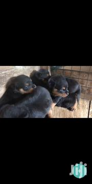 Pure Breed Rottweiler | Dogs & Puppies for sale in Greater Accra, Mataheko