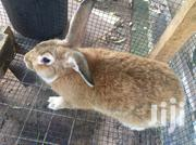 Male Rabbit | Other Animals for sale in Greater Accra, Kwashieman