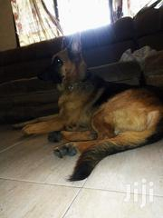 German Shepherd For Stud   Dogs & Puppies for sale in Greater Accra, Adenta Municipal