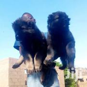 Pure Caucasian Puppies | Dogs & Puppies for sale in Greater Accra, Roman Ridge