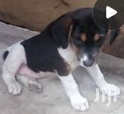 Mixed Breed Puppy for Sale | Dogs & Puppies for sale in Greater Accra, Ga East Municipal