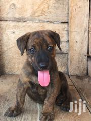 Dogs in Ghana for sale ▷ Prices on Jiji com gh ▷ Buy and sell