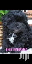 Shih Tzu Poppies , Pure Breed , 7 Weeks Old | Dogs & Puppies for sale in East Legon, Greater Accra, Nigeria