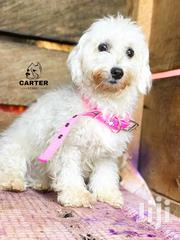 Adult Maltese | Dogs & Puppies for sale in Eastern Region, Asuogyaman
