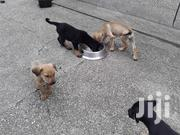 Foreign Dogs For Sale | Dogs & Puppies for sale in Greater Accra, Tesano
