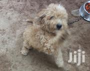 For Crossing | Dogs & Puppies for sale in Greater Accra, Adenta Municipal