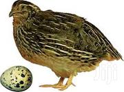 Quail And Quails Eggs | Other Animals for sale in Greater Accra, Accra Metropolitan