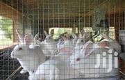 Exotic Rabbits for Sale | Other Animals for sale in Greater Accra, Ashaiman Municipal
