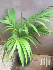 Ornamental Palm Trees | Garden for sale in Greater Accra, Adenta Municipal