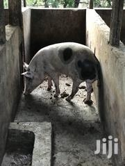 Adult Male Pig For Sale | Livestock & Poultry for sale in Greater Accra, East Legon