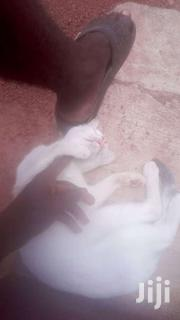 Cat For Sell | Cats & Kittens for sale in Greater Accra, Adenta Municipal