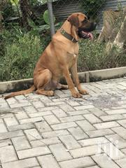 Adult Male Boerboel | Dogs & Puppies for sale in Western Region, Wassa West