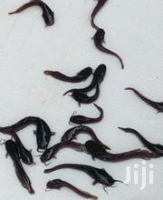 Catfish Fingerlings | Fish for sale in Greater Accra, Achimota