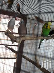 Finches And Parrots | Birds for sale in Greater Accra, Odorkor