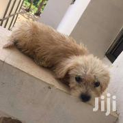 Male Poodle | Dogs & Puppies for sale in Greater Accra, Akweteyman