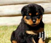 Rottweiler Puppy Needed | Dogs & Puppies for sale in Greater Accra, Accra Metropolitan