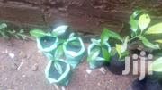 Nutmeg Cinnamon Seedlings | Feeds, Supplements & Seeds for sale in Greater Accra, Ga South Municipal