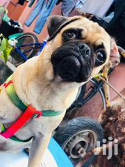 Female Pug | Dogs & Puppies for sale in Greater Accra, Tema Metropolitan