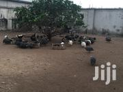 Sallah Guinea Fowl | Livestock & Poultry for sale in Greater Accra, Ga South Municipal