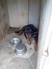 Rotweiller | Dogs & Puppies for sale in Greater Accra, Adenta Municipal