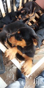 Rottweiler Pupils | Dogs & Puppies for sale in Greater Accra, Burma Camp