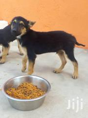 German Shepherd Male/Female | Dogs & Puppies for sale in Greater Accra, East Legon