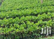 Grafted Cashew Seedlings | Feeds, Supplements & Seeds for sale in Brong Ahafo, Wenchi Municipal