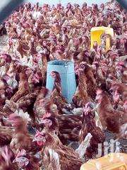 Layer Birds For Sale | Livestock & Poultry for sale in Greater Accra, Accra Metropolitan