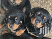 Quality Rottweiler Puppies for Sale | Dogs & Puppies for sale in Greater Accra, East Legon