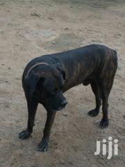 Boerboel for Crossing(Stud) | Dogs & Puppies for sale in Greater Accra, Dansoman