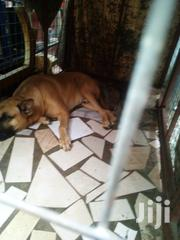 Healthy Dog   Dogs & Puppies for sale in Greater Accra, Tema Metropolitan