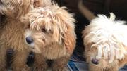 Poodles Puppies   Dogs & Puppies for sale in Greater Accra, Osu