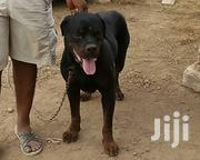 Rottweiler | Dogs & Puppies for sale in Greater Accra, Achimota