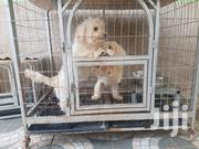 Poodles For Sale | Dogs & Puppies for sale in Greater Accra, East Legon