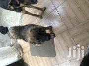 Urgent Sales 5 Months Old   Dogs & Puppies for sale in Greater Accra, East Legon (Okponglo)