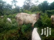 Female Cattle For Cool Price | Other Animals for sale in Greater Accra, Zongo