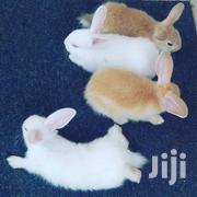 Rabbits For Sale. | Other Animals for sale in Greater Accra, East Legon
