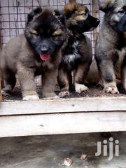 Caucasian Shepherds | Dogs & Puppies for sale in Greater Accra, Tema Metropolitan