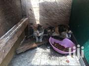 Cat For Sale | Cats & Kittens for sale in Greater Accra, Ashaiman Municipal