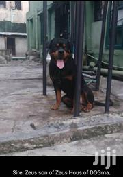 Rottweiler | Dogs & Puppies for sale in Greater Accra, Dansoman