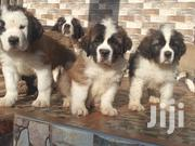 Beautiful Saint Bernard Puppies | Dogs & Puppies for sale in Greater Accra, East Legon